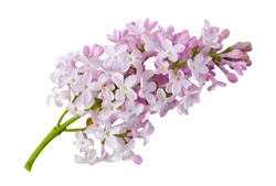 Sprig of blooming lilac isolated on a white background without a shadow. Item for greeting card, packaging, cosmetics and other design.