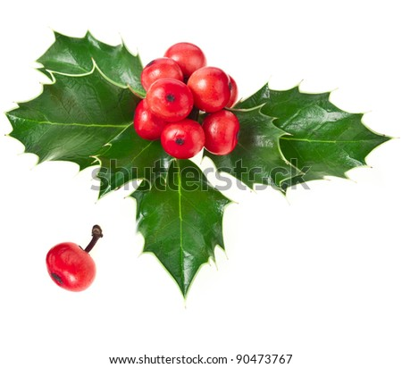 Sprig of European holly ilex christmas decoration  isolated on white background