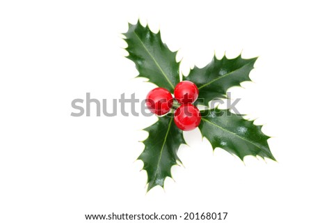 Sprig of European holly isolated on white - stock photo
