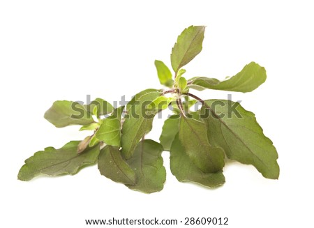 sprig of Holy Basil / Tulasi Isolated on White with clipping path