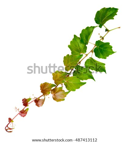 sprig of ivy with green leaves isolated on a white background #487413112
