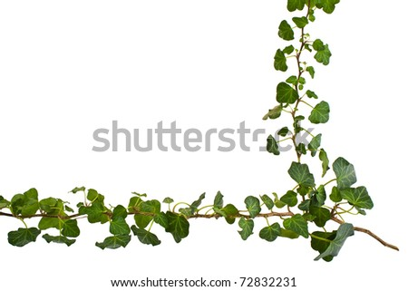sprig of ivy with green leaves on a white background