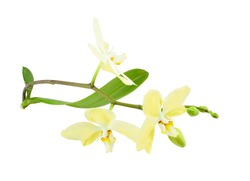 Sprig of orchid plant with yellow flowers, leaves and buds isolated on a white background.