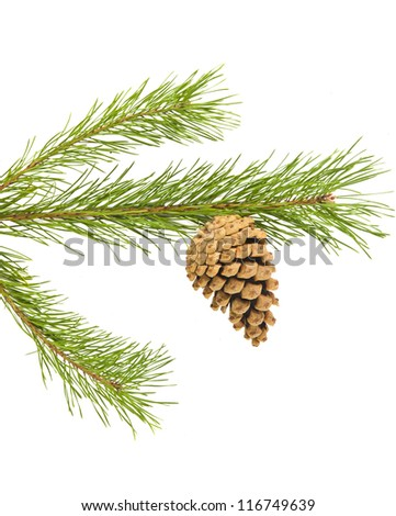 Sprig of pine cone isolated on white background