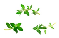 sprig of thyme isolated on white background