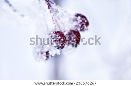 Sprig of wild apples covered with white frost. Abstract background