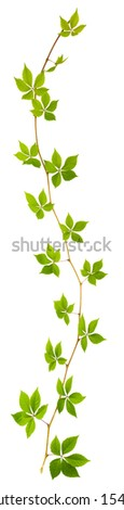 sprig of wild grape with green leaves on a white background