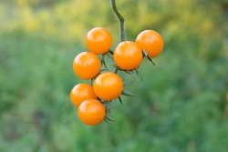 Sprig of wild tomatoes close-up. Tomatoes on a background of green grass. Branch of fresh yellow cherry tomatoes  in organic farm.