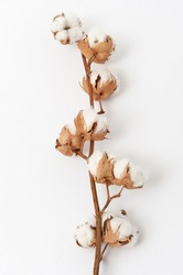 Sprig with fluffy cotton flowers on a white background. Close up
