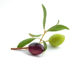 Sprig with fresh olive  isolated on white background