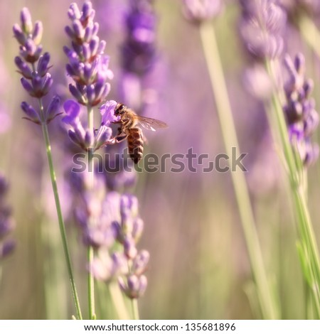 Sprigs of lavender blossoms and bee