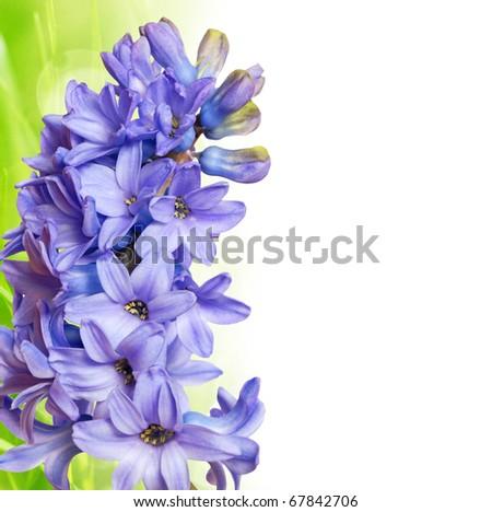 sprin hyacinth