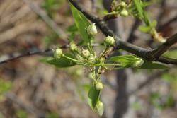 Spring. A branch of a pear tree with buds. Flower buds on the branch are ready to bloom. The flower buds of pear.