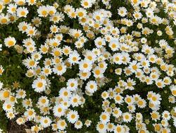 Spring and Summer flower_Argyranthemum frutescens, marguerite, marguerite daisy, Paris daisy. flower meaning is happiness, True love, friendship.