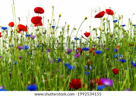 Spring and summer flowers on a mixed wild meadow. Corn flowers (Cyanus segetum), green grass, red poppy (papaver rhoeas) growing in Iserlohn Sauerland Germany isoltated with white wall background. Stock photo ©