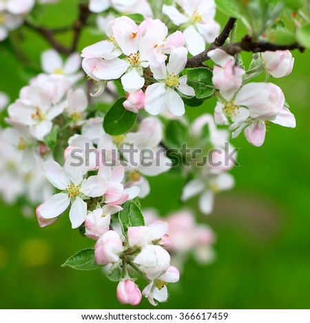 Spring apple flowers background. #366617459