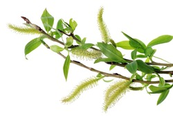 Spring April  twigs  with flowering buds and green leaves  of wild Willow tree. Isolated on white studio macro shot