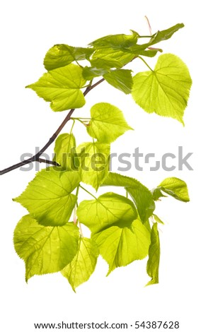 spring aspen branch isolated on white background
