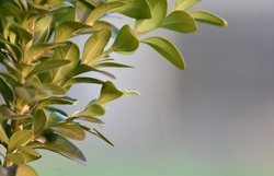 Spring background. Close-up of small green leaves of boxwood (Buxus sempervirens) with free space for text. Selective focus.