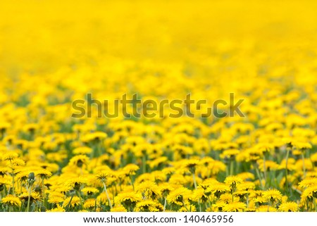 Spring background of yellow dandelion meadow