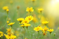 Spring background with beautiful yellow flowers