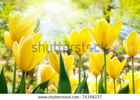 Spring background with beautiful  yellow tulips