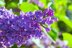Spring background with blooming lilac flowers. Blooming lilac flowers lit by sunlight. Selective focus at the central flowers