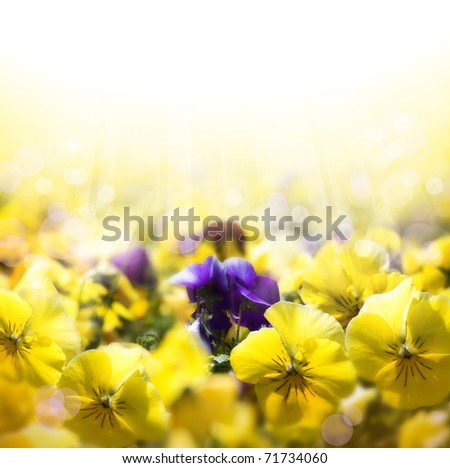 spring background with flowering pansies