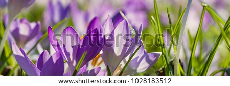 Spring background with Flowering violet Crocus in Early Spring. Crocus Iridaceae ( The Iris Family ) , banner