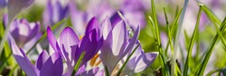 Spring background with Flowering violet Crocuses flowers in Early Spring. Crocus Iridaceae ( The Iris Family ) blossom , banner