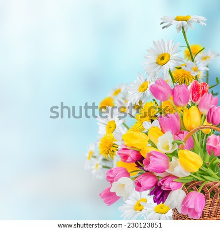 Spring background with tulip and chamomile flowers