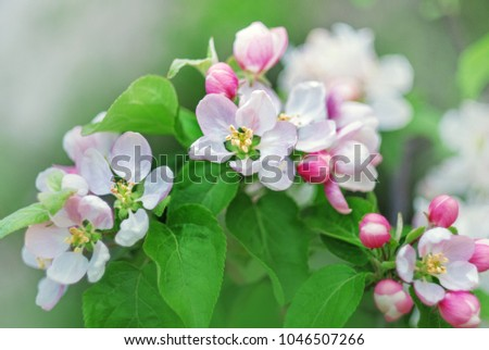 Spring background with white and pink blossom flowers #1046507266