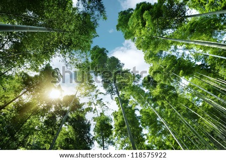 Spring bamboo forest with sprouts in morning sunshine glow