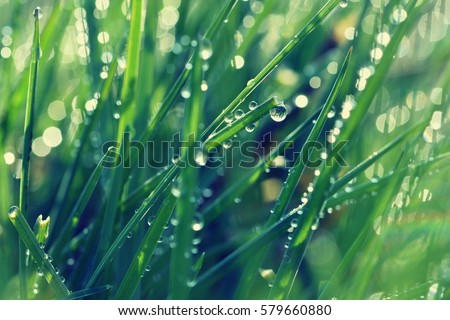 Spring. Beautiful natural background of green grass with dew and water drops. Seasonal concept - morning in nature. #579660880