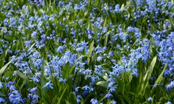 Spring beauty background. Sky blue scilla siberica or siberian squill is blooming profusely in the garden early spring.