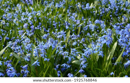 Spring beauty background. Sky blue scilla siberica or siberian squill is blooming profusely in the garden early spring.  Сток-фото ©