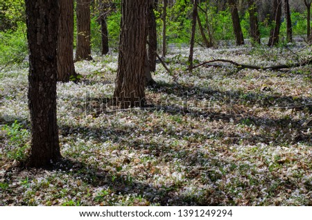 Spring Beauty carpets the forest floor at Fort Custer State Recreation Area in Kalamazoo County, Michigan #1391249294