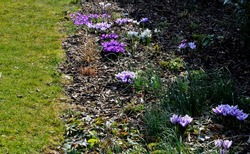 spring bed with bulbs and hellebore which has just formed flower buds and will bloom soon. The crocuses are pink, purple and yellow. they will soon be replaced by perennials in the mulched bark