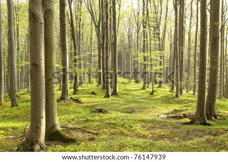 Spring beech forest on the mountain slope in a nature reserve.