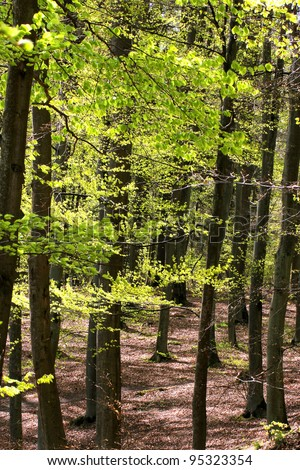 Spring beech forest - vertical landscape