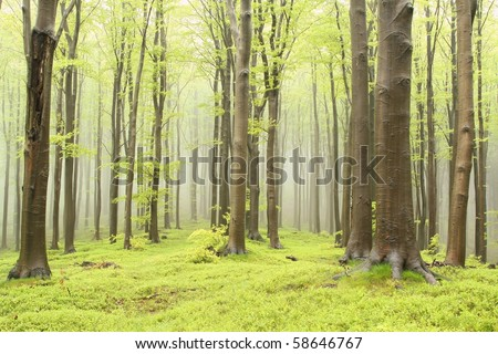 Spring beech forest with thick trees in the foreground and mist in the distance.