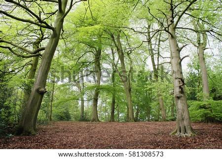 Spring Beech Tree Woods #581308573