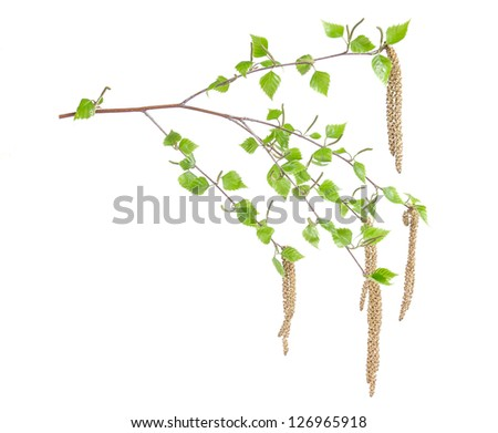 Spring birch branches with leaves isolated on white background