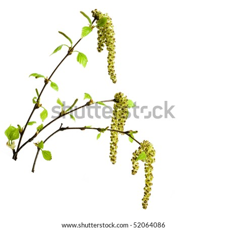 spring birch twigs with young leaves isolated