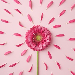 Spring bloom backdrop made with gerbera flower and petals forming sun shape on pastel pink background. Creative valentines day, 8th march or weeding concept. Flat lay, top view.