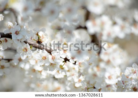 Spring blooming Apple Tree blooms Natural background #1367028611