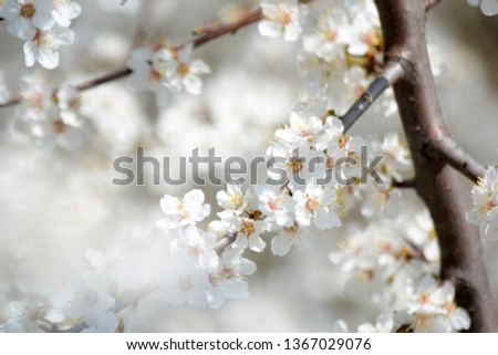 Spring blooming Apple Tree blooms Natural background #1367029076
