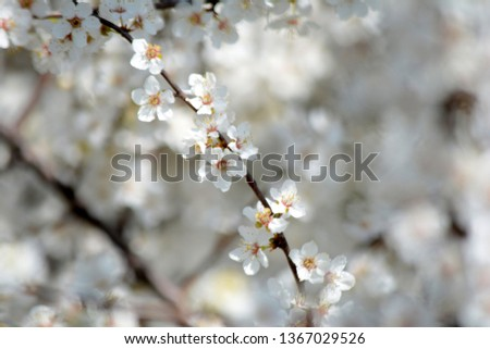 Spring blooming Apple Tree blooms Natural background #1367029526