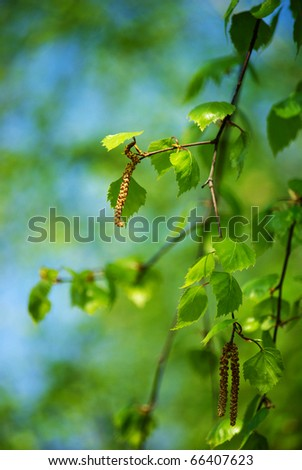 spring blooming birch twig with green folliage