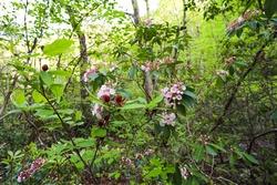 Spring blooming Carolina Allspice and Mountain Laurel in DeSoto Falls Picnic Area in northeast Alabama